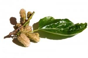 Resvératrol: la mulberry, mûre blanche du mûrier à soie
