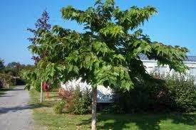 Mûrier du genre Morus famille des Moraceae