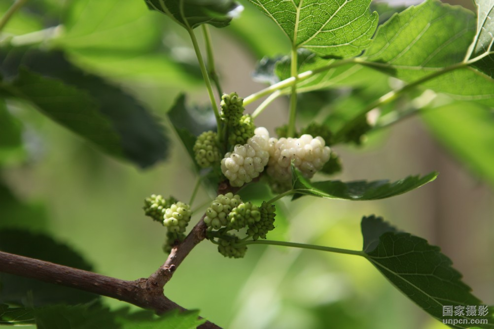 Mures blanches bio - Arbre murier fruit comestible ...